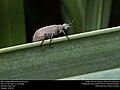 Blister beetle (Meloidae, Epicauta sp.) (30960064302).jpg