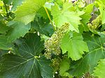 Bloom on Sangiovese at Red Willow.jpg