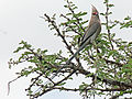 Blue-naped Mousebird RWD2.jpg