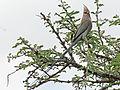 Blue-naped Mousebird RWD2.jpg