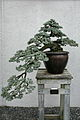 Blue Atlas Cedar (Cedrus atlantica) Glauca (3508644112).jpg