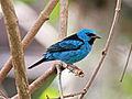 Blue Dacnis RWD.jpg