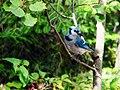 Blue Jay (1316169214).jpg
