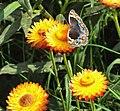 Blue Pansy Butterfly.jpg