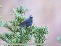 Blue Rock Thrush (Monticola solitarius) (35846500855).jpg