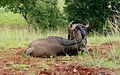 Blue Wildebeest (4300073751).jpg