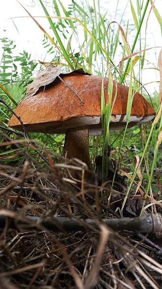 Leccinum scabrum - Leccinum scabrum (Belarus).
