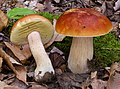 Boletus edulis group 657425.jpg