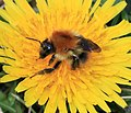 Bombus (Thoracobombus) pascuorum - Common carder bee - Flickr - S. Rae (2).jpg