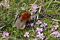 Bombus moscorum agricolae geograph-4483251-by-Mike-Pennington.jpg