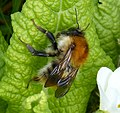 Bombus pascuorum. Queen. Common Carder Bee (33880440511).jpg