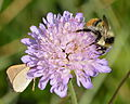 Bombus sylvarum (male) - Knautia arvensis - Keila1.jpg
