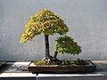 Bonsai United States National Arboretum 9.JPG
