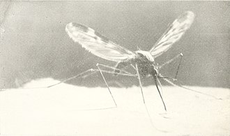 Anopheles punctipennis - Image: Book of monsters (1914) (20399001375)