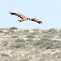 Booted eagle, Hieraaetus pennatus, at Kgalagadi Transfrontier Park, Northern Cape, South Africa (32334023538).jpg