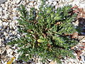 Boraginaceae, Paros, Greece, 2014.JPG