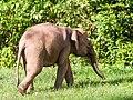 Borneo Elephant (15025801582).jpg