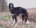Borzoi black female.png