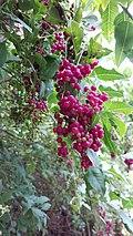 Bosea yervamora berries.JPG
