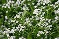 BotanischerGartenMuenster Duftsteinrich7842.jpg