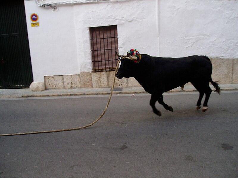 File:Bou en corda Torís Agost 2006.JPG