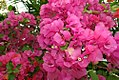 Bougainvillea James Walker 1zz.jpg