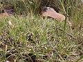 Bouteloua gracilis (3797549852).jpg