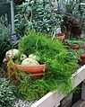 Bowiea volubilis - Buffalo Botanical Gardens.jpg