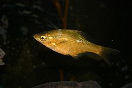 Brachyistius frenatus.jpg