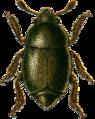 Brachypterus urticae Jacobson.png