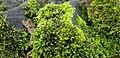 Brachythecium rutabulum 106000396.jpg