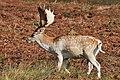 Bradgate Park fallow deer buck.jpg