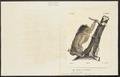 Bradypus tridactylus - 1700-1880 - Print - Iconographia Zoologica - Special Collections University of Amsterdam - UBA01 IZ21000158.tif