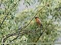 Brahminy Starling (Sturnia pagodarum) (34356185063).jpg