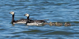 Barnacle goose - Pair of barnacle geese with chicks in Sweden
