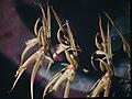 Brassia lanceana-01.jpg