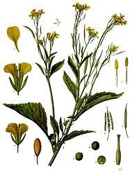 Brassica juncea - Köhler–s Medizinal-Pflanzen-168