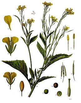 Гірчиця салатна — Вікіпедія
