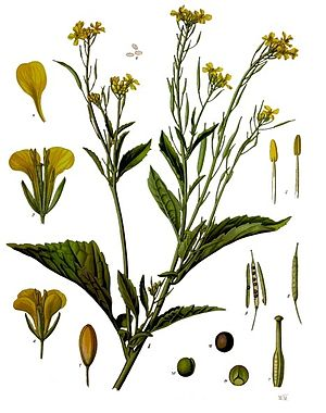 Brauner Senf (Brassica juncea), Illustration