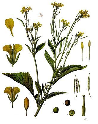 Brassica juncea - Image: Brassica juncea Köhler–s Medizinal Pflanzen 168