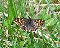 Brauner Würfelfalter (Hamearis lucina) 01.jpg