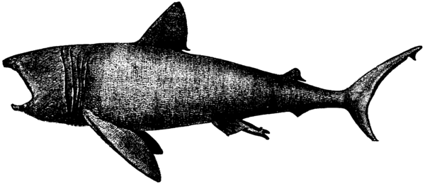 Britannica Shark Basking Shark.png