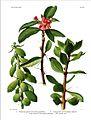 Britton Rose Cactaceae v1-plate3.jpg