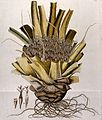 Bromelia karatas L.; flowering stem with roots and separate Wellcome V0042858.jpg