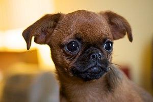 Griffon Bruxellois - Petit Brabançon puppy.
