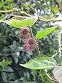 Broussonetia papyrifera (jardin des Plantes d'Avranches).jpg