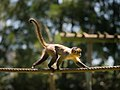 Brown Capuchin Monkey (19014201173).jpg