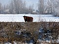 Brown Cow - panoramio.jpg