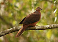 Brown Cuckoo-Dove.jpg