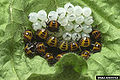 Brown marmorated stink bug eggs hatched.jpg